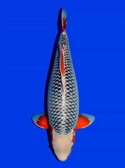 Asagi 8years 87cm Beautiful Koi Fish For Sale Koi Fish Koi Carp