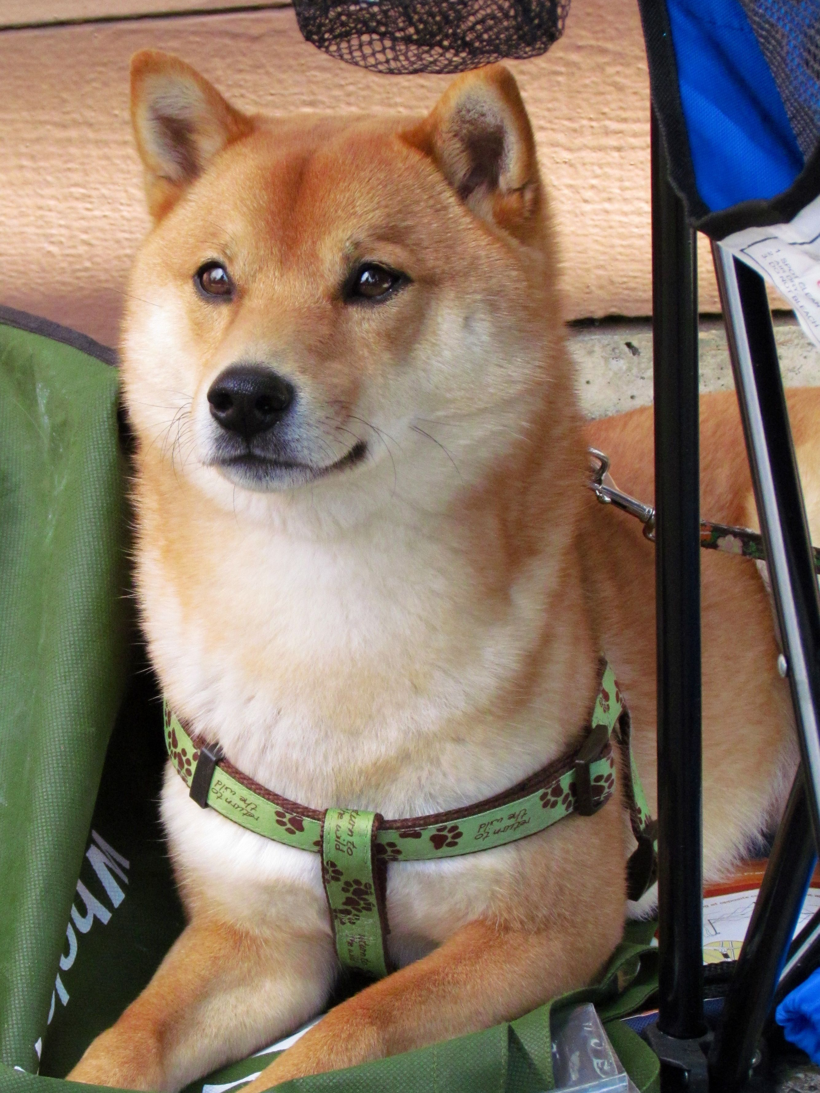 Majestic Shiba Inu *** Check out this information about ...