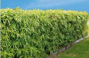 3 bambous de haie en ligne fargesia murielae willemse jardin pinterest jardins. Black Bedroom Furniture Sets. Home Design Ideas