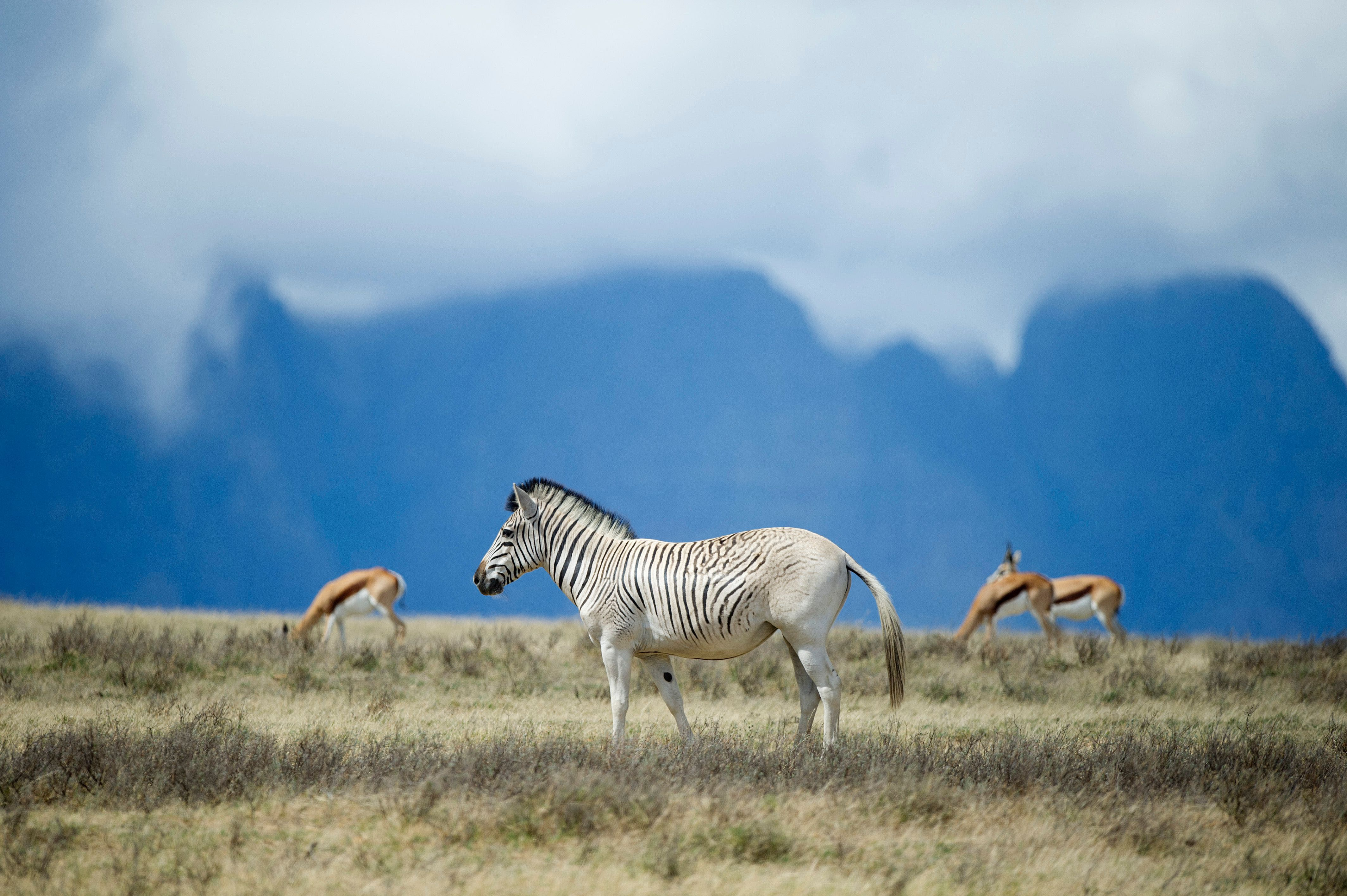 P21 Zebra A
