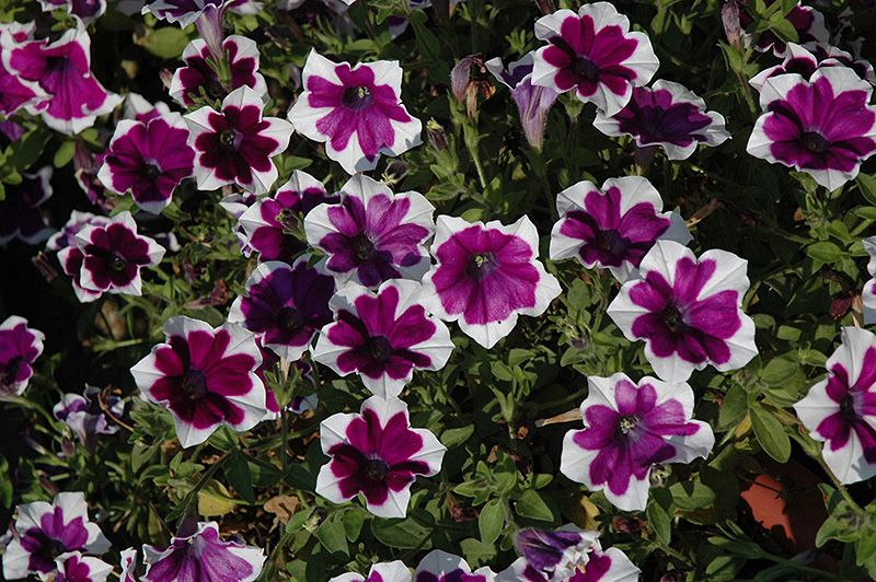 bachmans garden center. Cascadias Rim Violet Petunia (Petunia \u0026 Violet\u0026 At The Home And Garden Center Bachmans