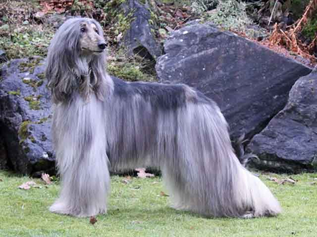 Afghan Hound Breed Afghan Hound Temperament Grooming Coat