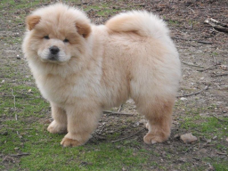 Saw A Chow Chow In Canonbury Earlier I Don T Know If It S