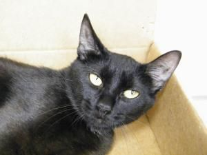 Adopt Fiona To Noah On With Images Cats Short Hair Black Short Hair Cats