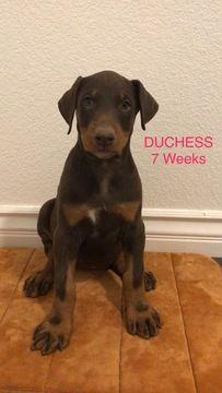 Litter Of 6 Doberman Pinscher Puppies For Sale In Palmdale Ca Adn 46901 On Puppyfinder Com Gender Female Age 8 Doberman Pinscher Puppies For Sale Pinscher