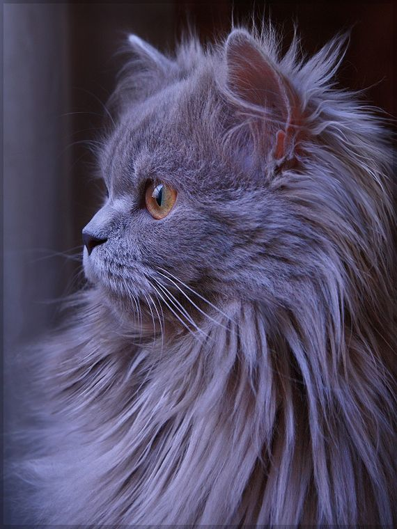 gray persian cat.... .......... | kittens | Pinterest ...