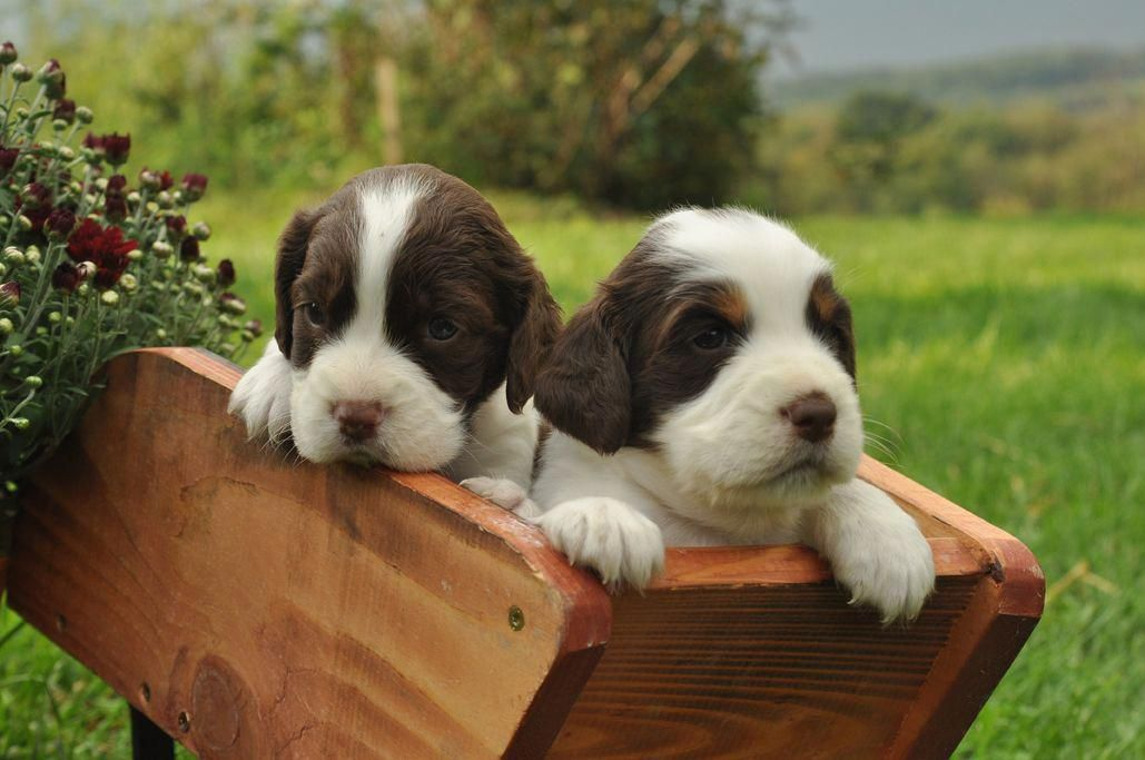 Outstanding Spaniel Puppies Detail Is Readily Available On Our Web Pages Check It Out And You Wont Spaniel Puppies Springer Spaniel Puppies Springer Spaniel
