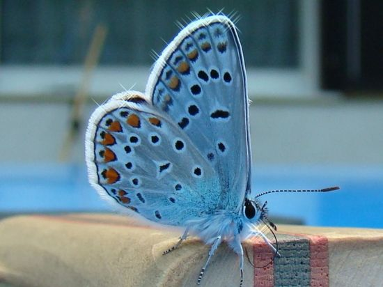 Beautiful! the Karner Blue Butterfly - endangered