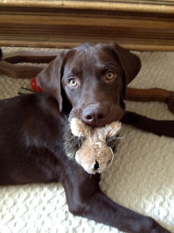 LOST CHOC LAB PUPPY RALEIGH, NC. Last seen on Brooks Ave