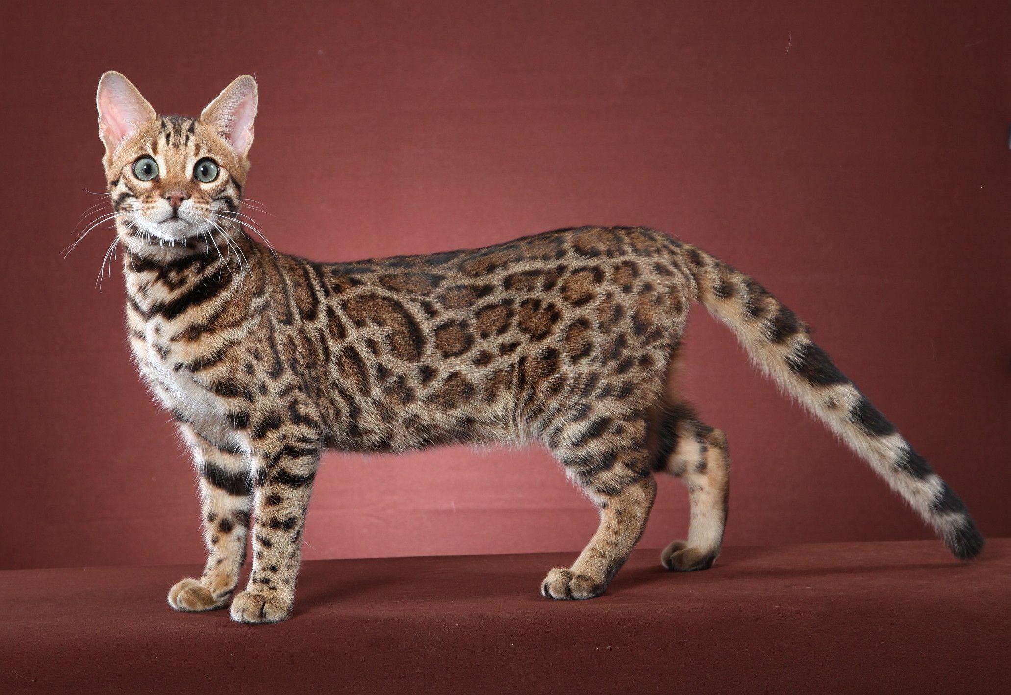 Bengal Cat In 2020 Bengal Kitten Bengal Cat Kittens Bengal Cat
