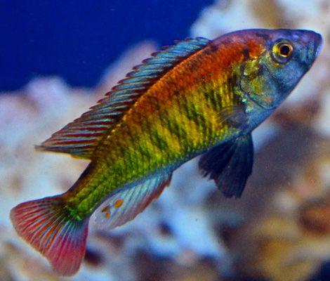 Haplochromis sp 35