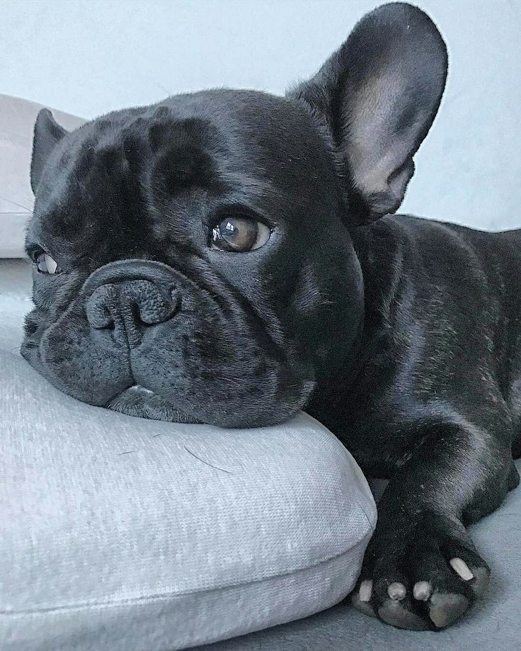Pin By Ryan Toast On Frenchies Baby Animals French Bulldog
