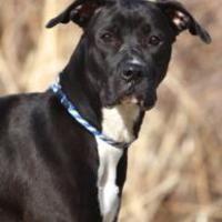 Kansas City, Missouri Boxer. Meet Nina, a for adoption