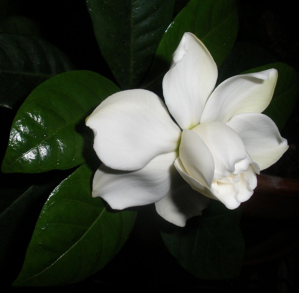 Gardenia Flower Flowers Gardenia Colorful Flowers