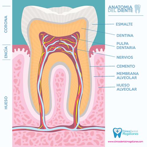 Partes de la muela #dentistas #muela