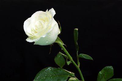 Arti Bunga Mawar Putih Mawar Putih Gambar Bunga Bunga