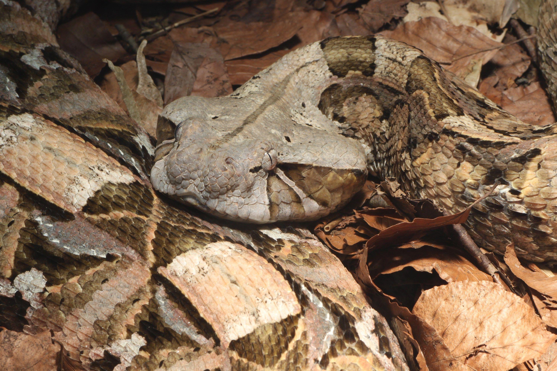 Picture for Desktop: gaboon viper | Reptiles | Gaboon viper