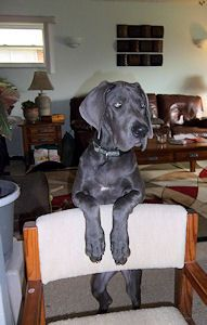 Pin By Harlequin Haven Great Dane Rescue On Hhgdr Success Stories