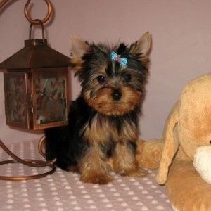 Yorkie With Images Yorkie Puppy Yorkie Yorkie Puppies For Adoption