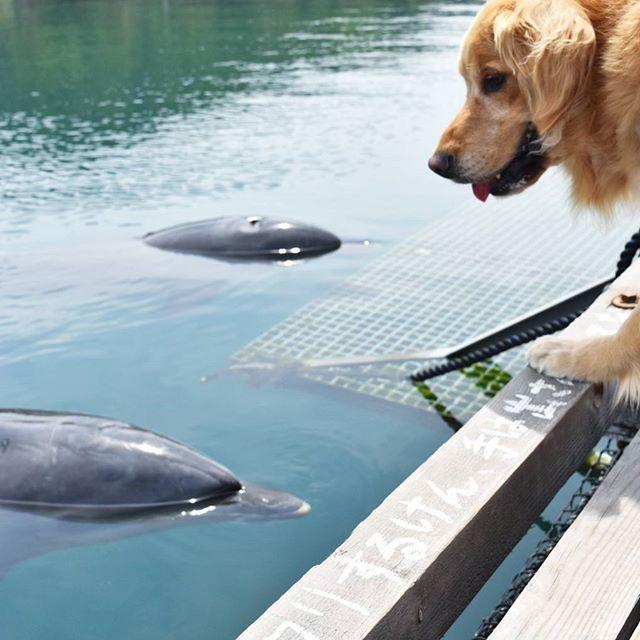 Gw旅行 愛媛県 伯方島 の ドルフィンファームしまなみ こちらでは わんこと一緒 に見学でします イルカ さんたち そらくんに興味津々なのか こんなに近くまで来てくれました そらくん大興奮 落ちちゃうよぉ レトリバー 大型