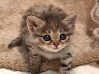 世界最小種の野生のネコ その名は クロアシネコ 猫の動画 ねこわん 子猫 猫 赤ちゃん かわいい子猫