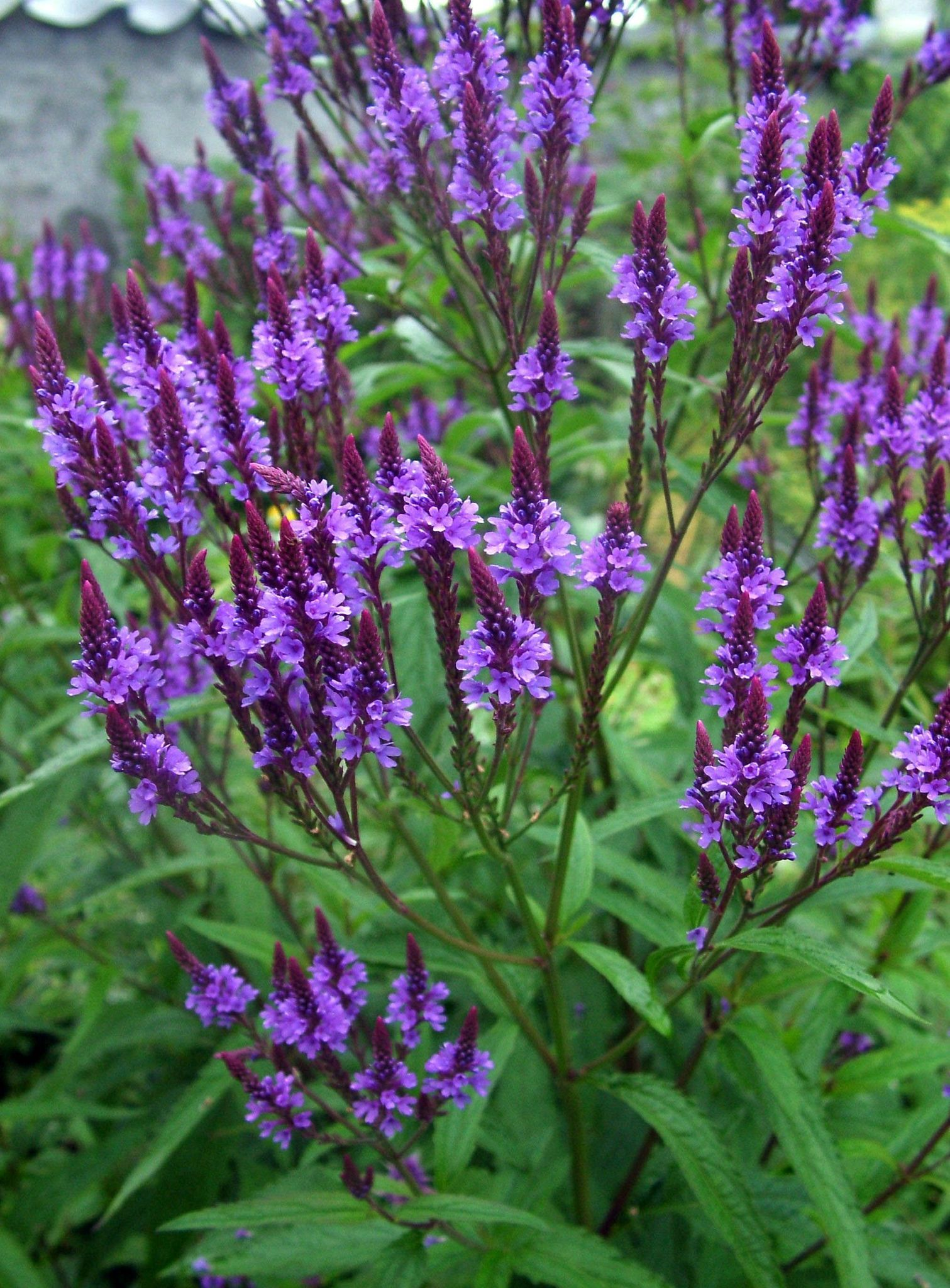 Verbena hastata - Blue Vervain - 'Enchantment' in the