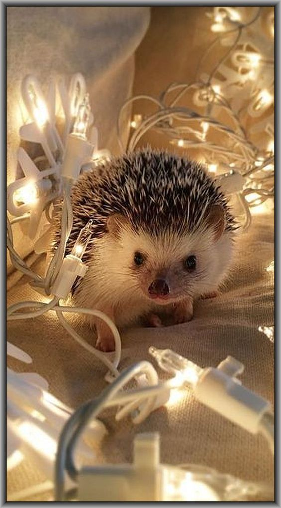 Soo Cute Christmas Hedgehog Photo By Tomtom1486 At Instagram Igel Hedgehog Pet Cute Baby Animals Cute Little Animals