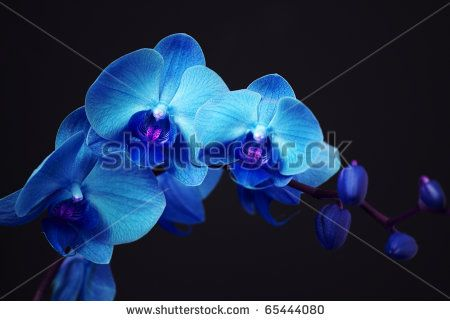 Orchid Flower Images Free Photos For Free Download About 140 Free Photos In Jpg Format Blue Orchid Flower Blue Orchids Orchids