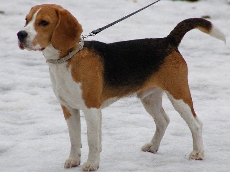 Beagle Fajta Nagy Felulvizsgalata Kep Es Video Beagle