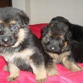 German Shepherd Puppies For Sale In Tarporley Cheshire North