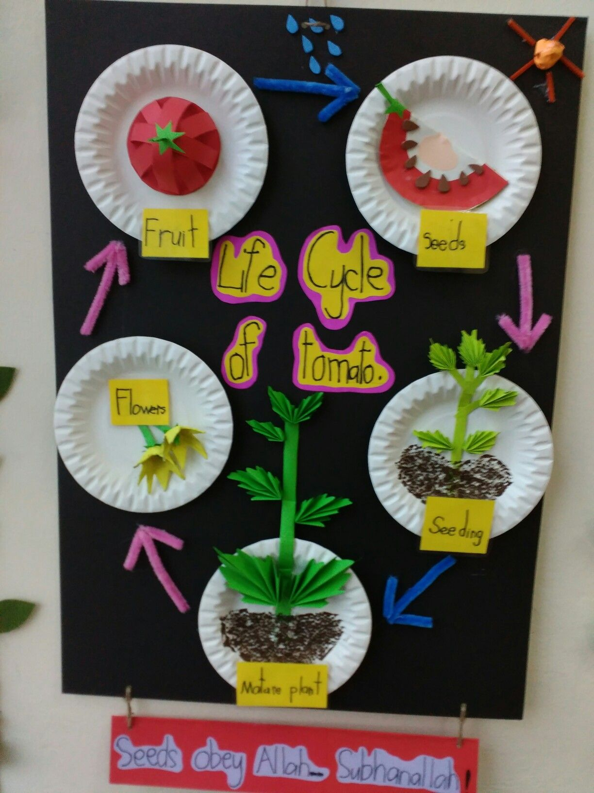 Life Cycle Of Tomato By Teacher Ina