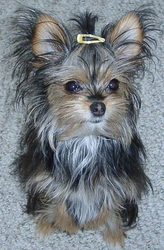 Sugar The Chorkie Cute Funny Dogs Yorkie Chihuahua Mix Cute
