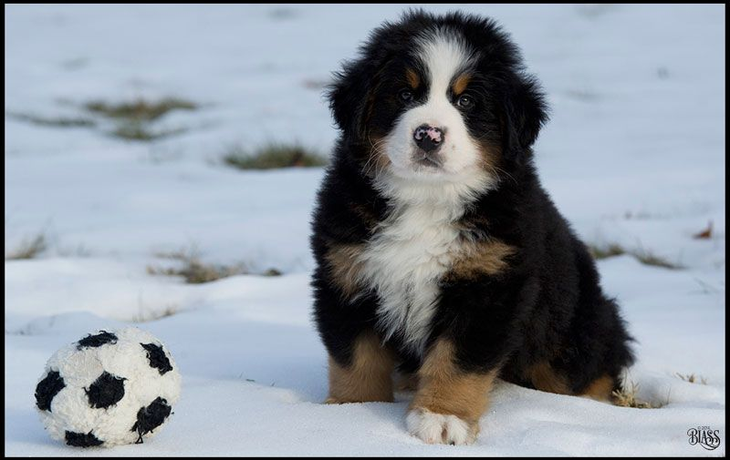 Guide To Buying A Bernese Mountain Dog Puppy Warning For Buyers