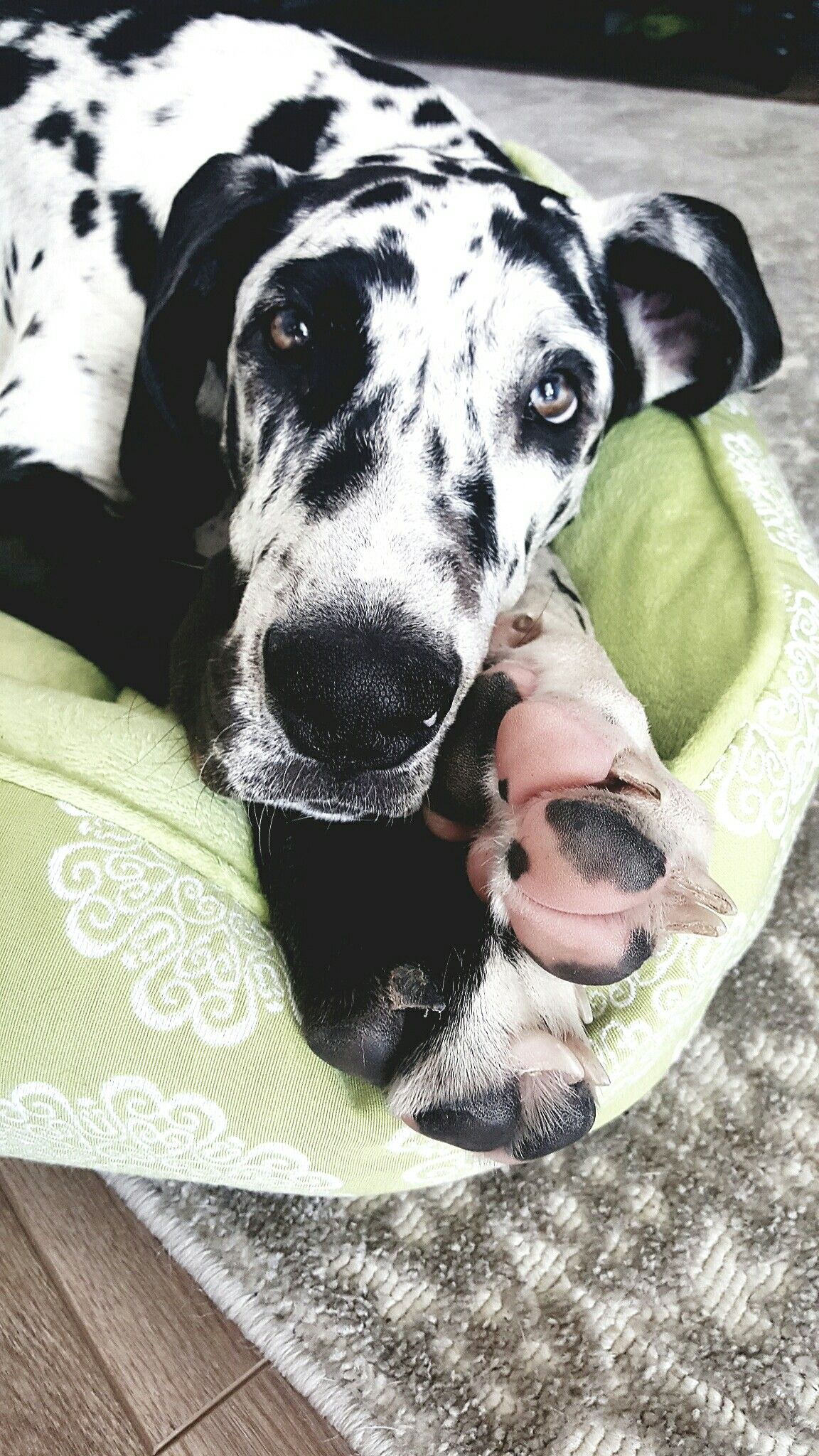 Great Dane Puppy Quinn Great Dane Dogs Dane Dog Dane Puppies
