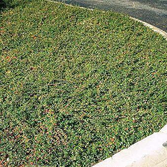 Achat cotoneaster dammeri jeune plante en godet for Plante couvre sol persistant
