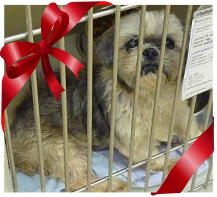 Pin By T Napo On Be A Furbaby Foster Shih Tzu Rescue Pets Shih Tzu Mix