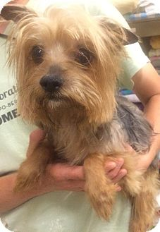Pictures Of Nadia Help A Yorkie Yorkshire Terrier Mix For Adoption In Oak Ridge Nj Who Needs A Loving Home