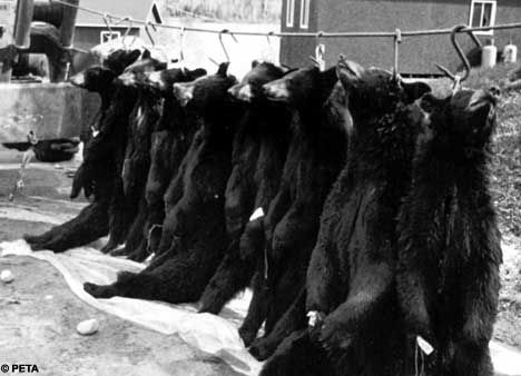 Revealed: The shocking video images which show the cruelty behind the Armys bearskin hats - THIS IS A CRY FOR HELP