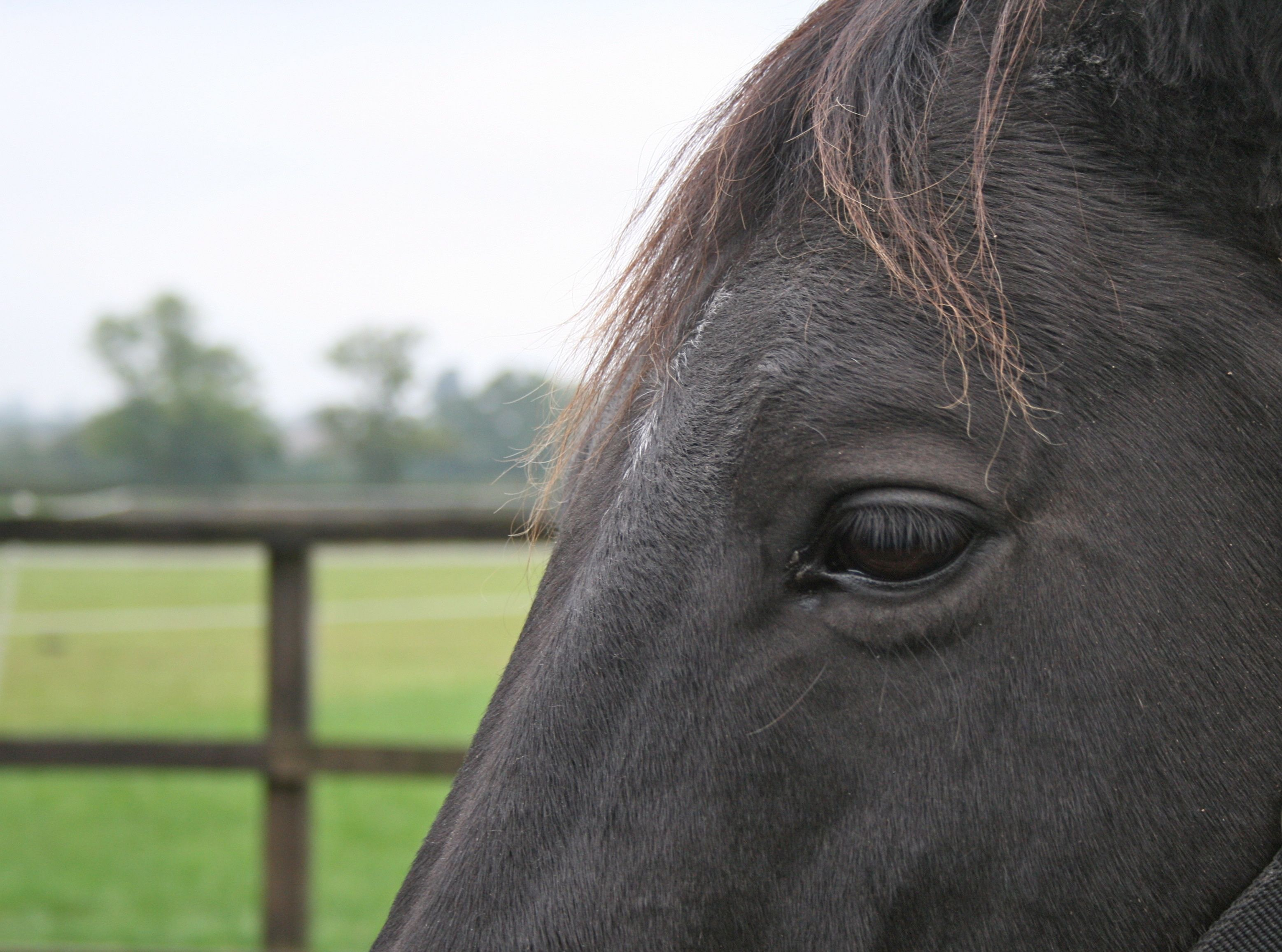 The wisdom of Kalle -  a black Trakehner mare