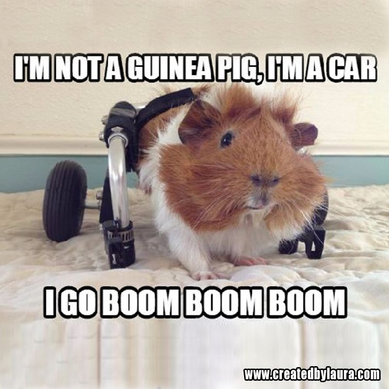Pin On Guinea Pigs Memes