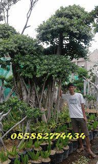 Jual Bonsai Beringin Korea Tanaman Peneduh Pohon