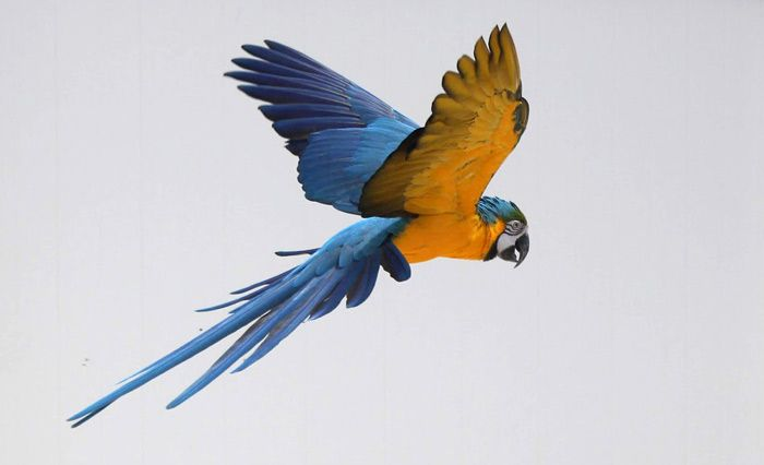 Different Species of Macaws - Bird Eden |Blue Macaw Parrot Flying