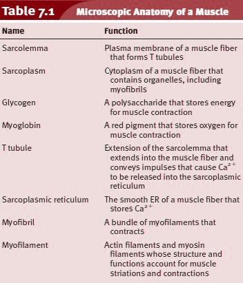 Microscopic Anatomy And Contraction Of Skeletal Muscle We Have