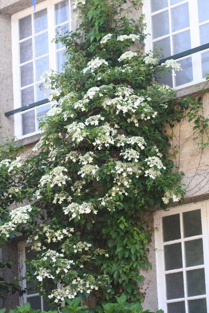 hydrangea petiolaris hortensia grimpant garden. Black Bedroom Furniture Sets. Home Design Ideas