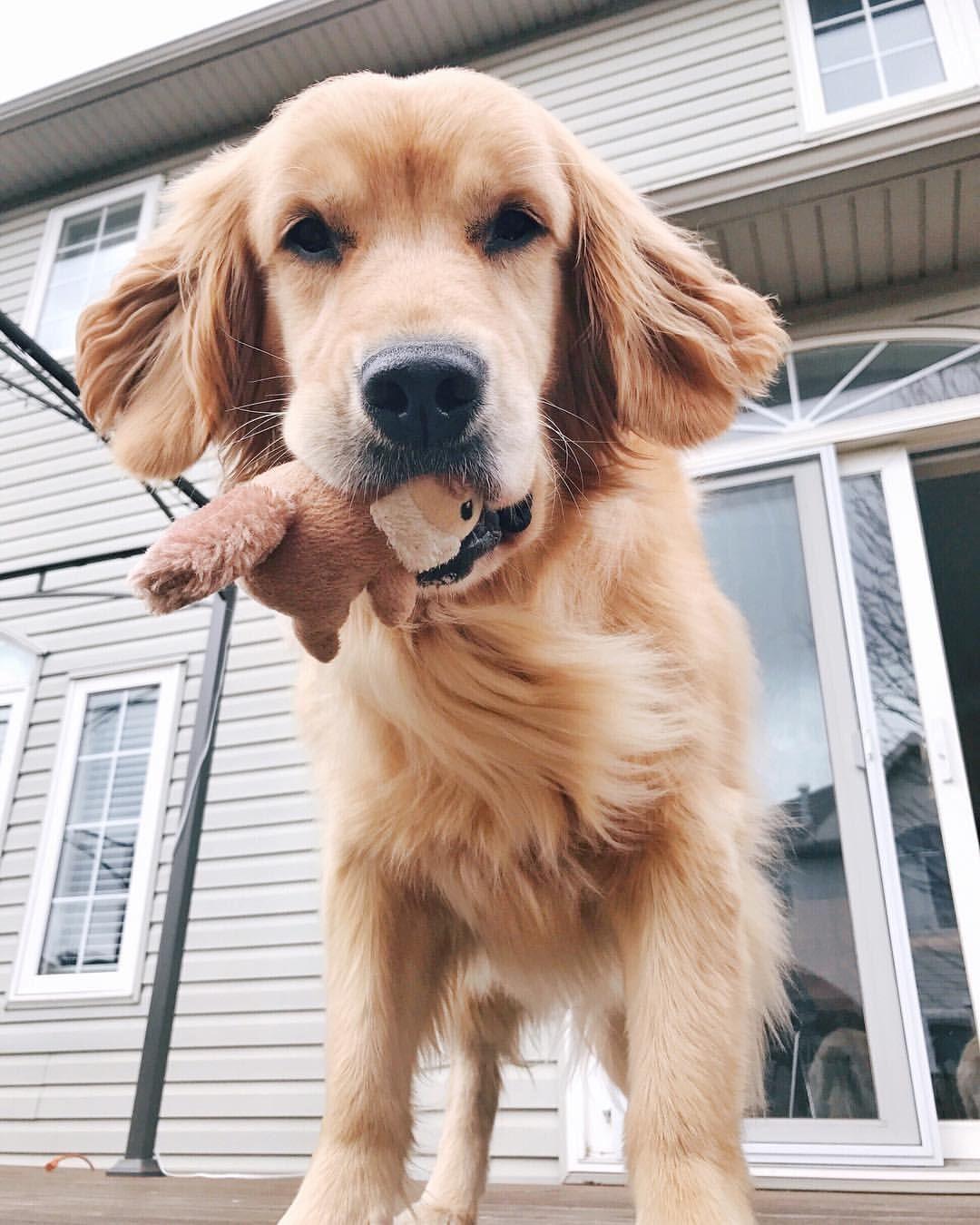 Golden Retriever Beagle Mix Golden Retriever Beagle Mix Cute