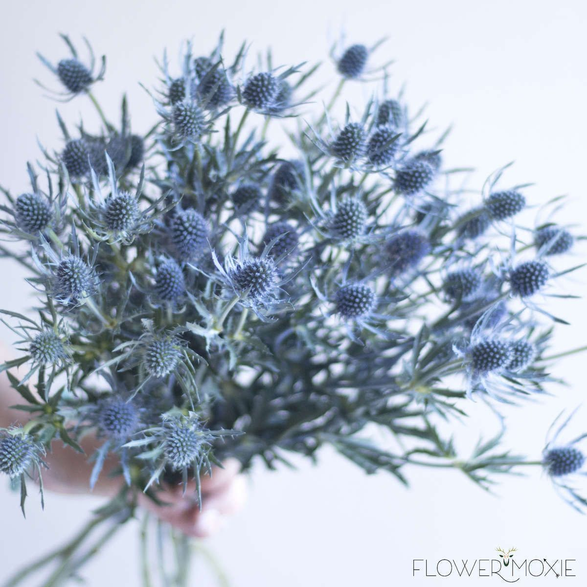 Thistle in 2020 Wedding flower guide, Blue wedding