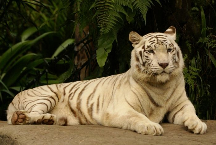 Il S Agit En Realite D Un Tigre Du Bengale Et Peut Etre Aussi D Un Tigre De Siberie Possedant Une Anomalie Genetique Appelee Leucistisme Cats Animals Meows