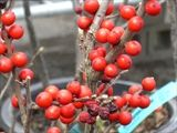 Red Winterberry