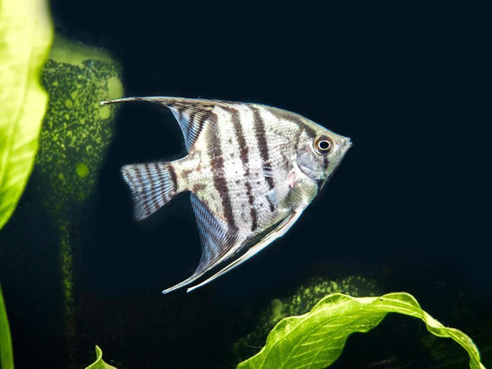 Blue Pinoy Zebra Angelfish Pterophyllum Scalare Var Blue Zebra Pinoy Tank Bred Angel Fish Breeds Aquatic Arts