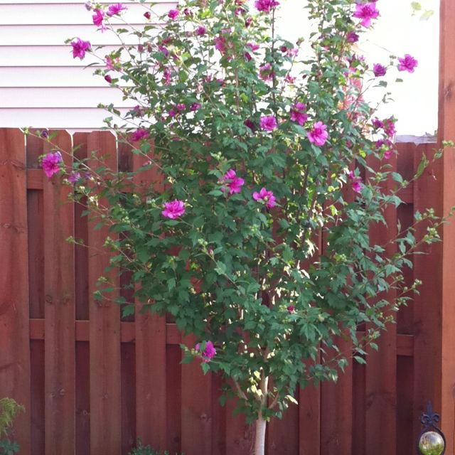 Rose of Sharon tree Great in Texas They have many babies to